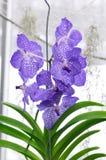 Blue coerulea Stock Photo
