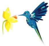 Colibri. Blue colibri with daffodil flower Stock Photo