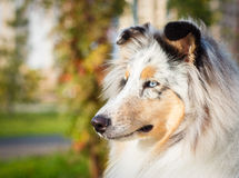 Blue Collie Royalty Free Stock Images