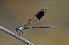 Blue color damselfly. In the parks Royalty Free Stock Photography
