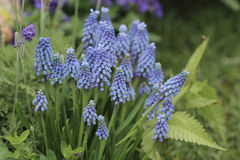 Blue color of Hyacinthus Orientalis Royalty Free Stock Photography