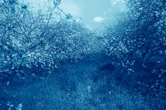 Blue colored blossoming orchard. Stock Photos