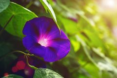 Blue Colored Morning Glory Flowers Background. Beautiful violet flower in the rays of the yellow sun. Macro`s Photo. screensaver for a magazine, green leaf Royalty Free Stock Image