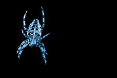 Blue colored spider in spiders Stock Photo