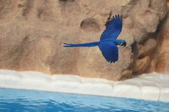 Blue Colored Tropical Parrot Royalty Free Stock Photo