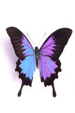 Blue and colorful butterfly on white background royalty free stock image