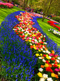 Blue and colorful flower carpet in Keukenhof Stock Photo