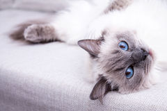 Blue colorpoint Ragdoll cat lying on the couch Royalty Free Stock Images