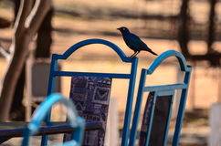 Blue colors on a bird and a chair in Africa. Starling blue bird on a blue chair in the Kruger Park of South Africa. In the middle of the african's red colors, it royalty free stock photography