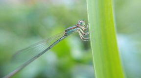 Blue colour Damselfly. Damselflies are insects of the suborder Zygoptera in the order Odonata. They are similar to dragonflies, which constitute the other stock image