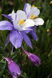 Blue Columbine (Aquilegia coerulea) at American BAsin in the San. Close-up image of a blue columbine (Aquilegis coerulea) the state flower of Colorado Stock Image