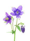 Blue columbine - aquilegia flower. Isolated on white royalty free stock photography