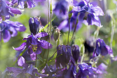 Blue columbine flower colorful bright spring background Stock Photography