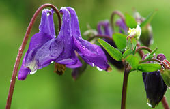 Blue Columbine flower. After rain royalty free stock photography