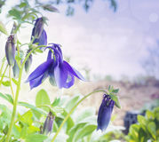 Blue columbine flowers in garden, toning Stock Images