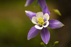 Blue Columbines Royalty Free Stock Photos