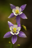 Blue Columbines royalty free stock photography