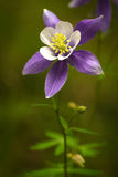 Blue Columbines stock images