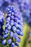 Blue common grape hyacinth. Or muscari botryoides in the sun in spring Royalty Free Stock Photo