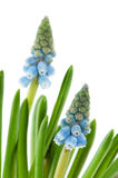 Blue common grape hyacinths Royalty Free Stock Photo