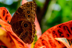Blue Common Morpho butterfly Stock Image