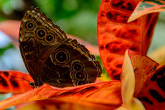 Blue Common Morpho butterfly Royalty Free Stock Images