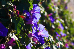 Blue convolvulus plant royalty free stock images