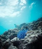 Blue coral Stock Images
