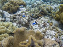 Blue coral fishes in coral formation. Coral reef underwater photo. Tropical sea shore snorkeling or diving. Undersea wildlife of coral reef and marine animals stock image