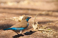 Blue cordon-bleu bird on the ground Stock Photos