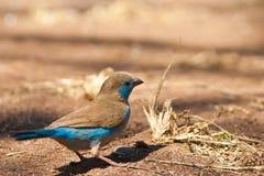 Blue cordon-bleu bird on the ground. Blue cordon-bleu bird walking on the ground Stock Photos