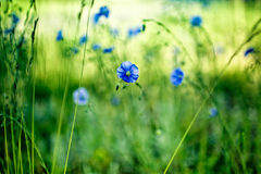 Blue Corn Flower Royalty Free Stock Photo