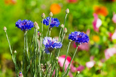 Blue corn flowers Stock Photography