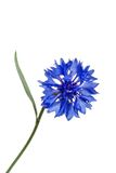 Blue cornflower Royalty Free Stock Image