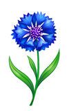 Blue cornflower. Detailed vector blue cornflower. EPS10 Royalty Free Stock Photos