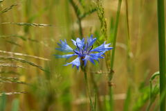 Blue cornflower Royalty Free Stock Photography