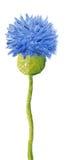 Blue cornflower. Acrylic illustration of blue cornflower Royalty Free Stock Photo