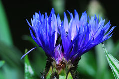 Blue cornflower and ant Royalty Free Stock Photo