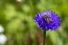 Blue cornflower with bee at a farm beside the river Leiblach