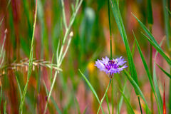 Blue cornflower and a bee Royalty Free Stock Photos