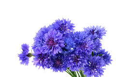 Blue cornflower bouquet. Centaurea cyanus isolated on white background royalty free stock images