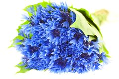 Blue cornflower bunch Royalty Free Stock Photography