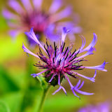 Blue Cornflower centaurea cyanus flower macro Stock Images