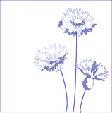 Blue cornflower Royalty Free Stock Image