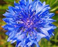 Blue cornflower close up Royalty Free Stock Image