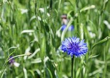 Blue cornflower Stock Images
