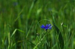 Blue cornflower Stock Photography
