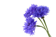 Blue cornflower closeup on white. Blue cornflowers closeup -Bachelor's button isolated on white background stock image