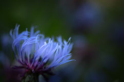 Blue cornflower Stock Photos