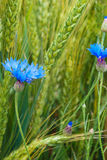 Blue cornflower in the field among the ears of cereal Royalty Free Stock Photos